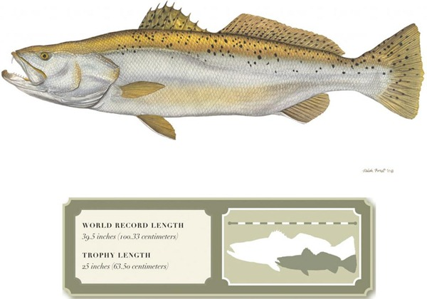 Spotted_Sea_Trout